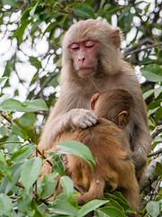 Rhesus Macaque (Mike Prince) Tags: india monkeys mammals apes mammalia primates westbengal rhesusmacaque macacamulatta sundarbansnationalpark