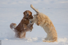 """Sch***.. gleich schlägts ein!"" / ""Oh no - Prepare for the impact!"" (HendrikSchulz) Tags: schnee winter dog snow dogs goldenretriever fun action einstein lilly februar bordercolliemix 2015 harzerfuchs whitegoldenretriever biesendorf weisergoldenretriever"
