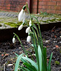 urban nature snow drops first sign of spring (ste atkinson) Tags: snowdrops
