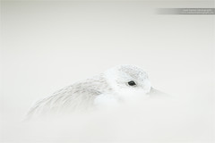 Whiteout (www.matthansenphotography.com) Tags: white bird beach nature animal sand wind wildlife sanderling shorebird matthansenphotography