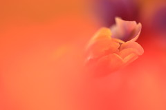 Memory (Sonya Ashley) Tags: flowers orange abstract flower macro petals blurry remember purple bokeh dream memory