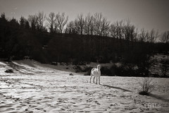 The horse apparition (PetterZenrod) Tags: winter horse snow forest canon caballo alone f14 nieve sigma bosque invierno frío solitario 30mm 650d