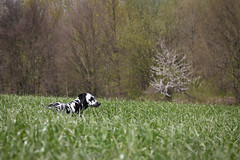 Gras fressen (blumenbiene) Tags: dog white playing black game dogs female walking fun weide meadow wiese hund schwarz dalmatian hunde spaziergang spielen dalmatiner weis hndin