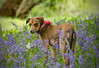 Max enjoying the Bluebells. (Yvette-) Tags: withnellfold nikkorf28105mm nikond5100