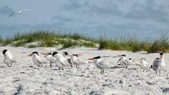 Beach Punks (And Hei) Tags: sea summer usa sun bird beach gulfofmexico birds strand nikon florida birding royaltern northamerica vgel birdwatching vogel annamariaisland d3300 knigseeschwalbe