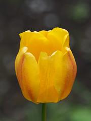 wiosna Frhling spring in unsern Garten (arjuna_zbycho) Tags: flower spring tulip blume tulipa frhling tulpen tulipano wiosna tulipes kwiat tulipan tulipn badenbeiwien lale tulppaanit   laleaua