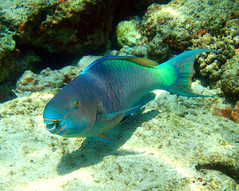 Ember Parrotfish - ♂ (Scarus rubroviolaceus) (J.Thomas.Barnes) Tags: hawaii kona animalplanet fish portrait snorkel icthyology parrotfish