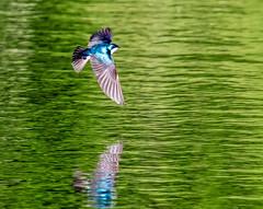 Tree Swallow (edmason88) Tags: morning sunshine shiny colours alberta treeswallow strathconacounty tamron150600