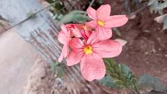 Aboli flower (Patiljayendra) Tags: beautifulflower redflower wallpaper closeupshot konkan nature photo picture