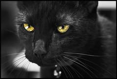 Jack the Cat 2015 #5 (hamsiksa) Tags: cats felines staring blackcats domesticshorthair