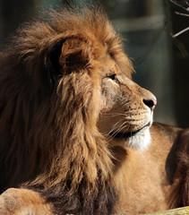 African lion Burgerszoo JN6A6326 (j.a.kok) Tags: lion burgerszoo africanlion afrikaanseleeuw pantheraleoleo leeyw