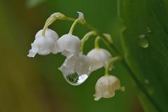 D71_9178A (vkalivoda) Tags: flower bokeh depthoffield droplet lilyofthevalley maiglckchen convallariamajalis zelen convallaria kapka konvalinka konvalinkavonn