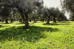 IMG_9675-1 (Andre56154) Tags: italien flowers italy flower tree felder blumen fields sicily blume baum olivetree blten olivenbaum plantage sizilien grnland