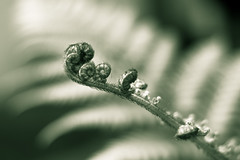 (earthly magic 11) Tags: new light sunlight plant fern macro nature monochrome garden hair shoot patterns swirl curl sprout