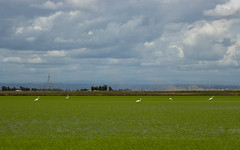 Rice, Egrets (Dan Brekke) Tags: california water rice farms sacramentovalley