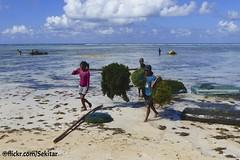 Sea weed harvest, Pantai Lobo Hede, Sawu Barat (Sekitar) Tags: sea indonesia island weed laut harvest lobo seetang pulau pantai nusa ntt barat hede sabu nusatenggara rumput savu sawu nusatenggaratimur earthasia