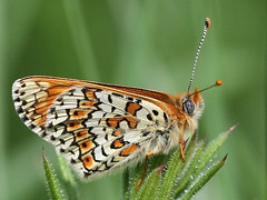 Glanville Fritillary (Melitaea cinxia) - Hutchinsons Bank LWT (mikehook51) Tags: uk wild england plants macro nature sunshine fauna digital butterfly insect spring flora wildlife butterflies reserve lepidoptera winged grassland rare croydon avian fritillary underwing naturereserves glanvillefritillary bbcspringwatch londonwildlifetrust chalkland melitaeacinxia canoneos7d hutchinsonsbanklwt