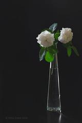 Gemini (alinalcraita) Tags: flowers shadow roses stilllife white dark naturallight indoor vase zodiac
