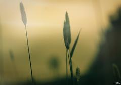 Dust in the wind... (roland_lehnhardt) Tags: trees sun green nature landscape wind natur joy wiese thoughts grn grassland landschaft sonne bume freude grashalm culm gedanken traurigkeit naturemasterclass
