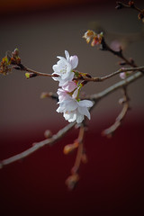 (mizuk@) Tags: flower japan canon cherryblossom sakura  mie
