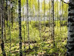 Birch Grove (ristoranta) Tags: finland koivu grove birch fi backlit maisema jrvi uusimaa kevt piv vastavalo nummipusula canonpowershotsx60hs harvennettu