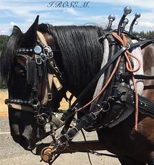 I.ROSE.M. #Wagon Train,# 67th Annual Ride, Placerville (idarosemarcantonioakai.rose.m.) Tags: horses horse black wagon blackhorse reins wagontrain blackhorses