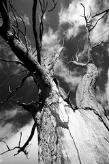 Dead tree on the hill (daniel_james) Tags: blackandwhite tree rural farm australia nsw bentley northcoast 2016 canon1022mm northernrivers