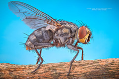 Fly (Jefferson Allan - Photographer) Tags: macro natureza infrared paisagens fotografiacampinas empilhamentodefoco jeffersonallan fotografojeffersonallan