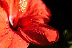 (noidcanuse2011) Tags: red plant flower m43  gf2 lumixg20f17