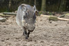Common warthog 2016-04-14-0013 (BZD1) Tags: animal animals mammal burgerszoo warthog zwijn wrattenzwijn varkens chordata artiodactyla phacochoerus suidae phacochoerusafricanus commonwarthog knobbelzwijn