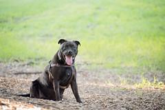 DSC_4154 (lauripiper) Tags: california park portrait woman dog girl mutt rottweiler pitbull amstaff americanstaffordshireterrier nikond810