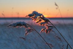 Hoar frost on reed in a winter landscape (mikhailanikaev) Tags: reed wetland outdoor cold meadow travel seasonal freeze orange sun hoar season purple winter sunset rural country frost background netherlands holland white sunrise evening morning dusk clouds countryside lonely blue sky dawn snow cloudscape desolate landscape
