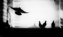 pigeons in the city (Anitab) Tags: birds manhattan pigeons flight sillouette