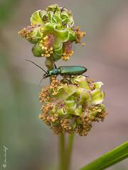 Chrysanthia viridissima (Makromaus_Ahrweiler) Tags: chrysanthiaviridissima oedemeridae scheinbockkfer falseblisterbeetle coleoptera kfer makro macro naturaufnahme nature bej