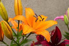 Lys avec perles de gouttes d'eau... (Crilion43) Tags: france vreaux divers lys jardin centre canon paysage fleurs cher rouge arbres brouillard ciel herbe jaune nature nuages orange rflex