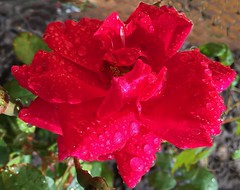 Blaze (peggyhr) Tags: light red canada green textures alberta buds waterdroplets thegalaxy peggyhr bluebirdestates blazeclimbingrose