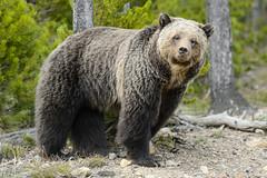Beryl Sow (rwarrin) Tags: bear outdoors centennial nationalpark unitedstates nps yellowstonenationalpark yellowstone grizzly ynp