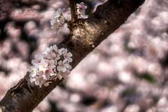 blossom branch (kderricotte) Tags: tree spring branch blossom bokeh depthoffield swirly helios44m458mmf2 sonya6000