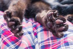 IMG_4119 (BalthasarLeopold) Tags: pet cats pets animal animals cat blackcat mammal kitten feline dof kittens felines blackcats indoorcat dephtoffield