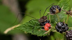 Daddy Long Legs Enjoying a Black Raspberry (just another bozo on the bus) Tags: black daddy long legs raspberry longlegs