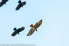 RedTailHawk battle 17_DSC5614.jpg (orig_lowolf) Tags: usa home oregon nikon flickr flight crow attacking redtailedhawk lakeoswego d300s sigma150500mmf563afapodgoshsmtelephotozoom