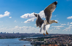 DSC00375-2 (UmitCukurel) Tags: turkey seagull sony turkiye istanbul pajaro bosphorus marti lightroom galata goldenhorn halic a7ii