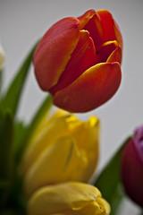 Tulips #8 (dleany) Tags: 100mmf28l 5dmkii macro dof tulips