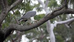 _4SJ8664-r5 (4mpx) Tags: sydney seaeagle australianbird brokenbay nikond4s tamron150600mm