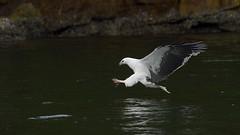 _4SJ8642-r5 (4mpx) Tags: sydney seaeagle australianbird brokenbay nikond4s tamron150600mm