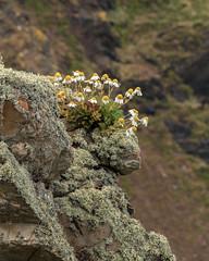 Day 6 06 Mull of Galloway Gallie Craig flowers (bob watt) Tags: uk plants flower june canon scotland 7d 2016 mullofgalloway 18135mm canoneos7d kirkcudbrightholidayjune2016 galliecraigcafe