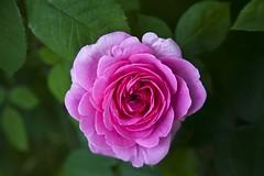Ni tout  fait la mme, ni tout  fait une autre (Gerard Hermand) Tags: pink paris france flower macro green fleur rose closeup canon leaf vert feuille serre paulverlaine auteuil monrvefamilier eos5dmarkii formatpaysage gerardhermand 1606102190