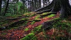Haraldsvang, Norway (Vest der ute) Tags: norway forest treeroots pinecones rogaland haugesund fav25 fav200 g7x