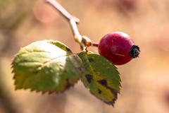 Rose Hip (hvsf112) Tags: autumn red rot fall leaves rose fruit leaf herbst blatt frucht rosehip hagebutte