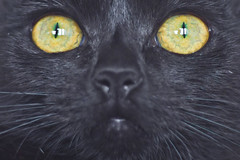 IMG_3702 (BalthasarLeopold) Tags: pet cats pets animal animals closeup cat blackcat mammal kitten feline dof kittens felines blackcats indoorcat dephtoffield